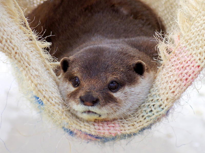 Otter Can Watch All the Goings-On from His Cozy Hammock