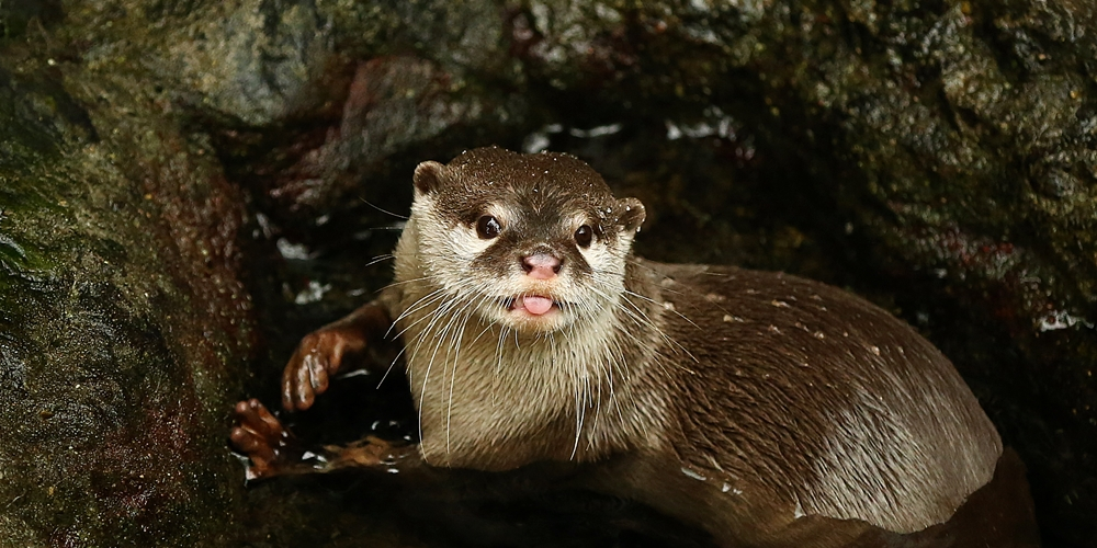 Otter Playfully Sticks Out His Tongue at You