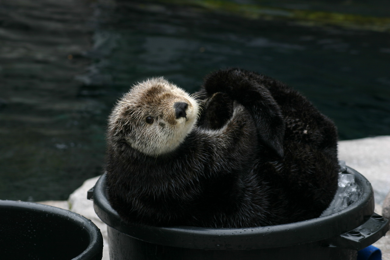 Sea Otter Gidget Curls Up in an Ice Bucket