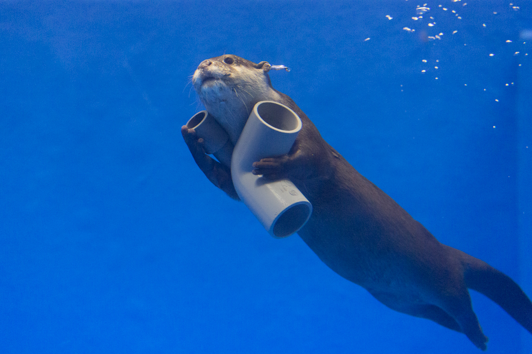 Otter Swims Away with His New Pipe Toy