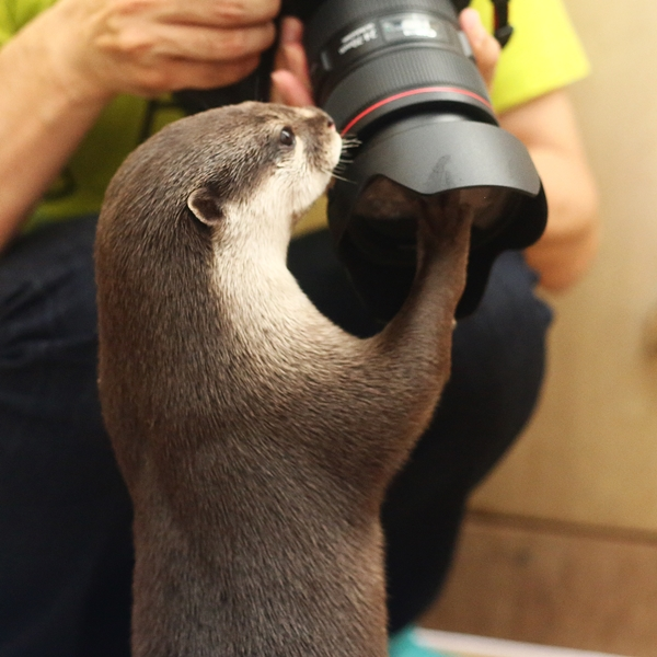 Otters Find Human's Camera Fascinating 2