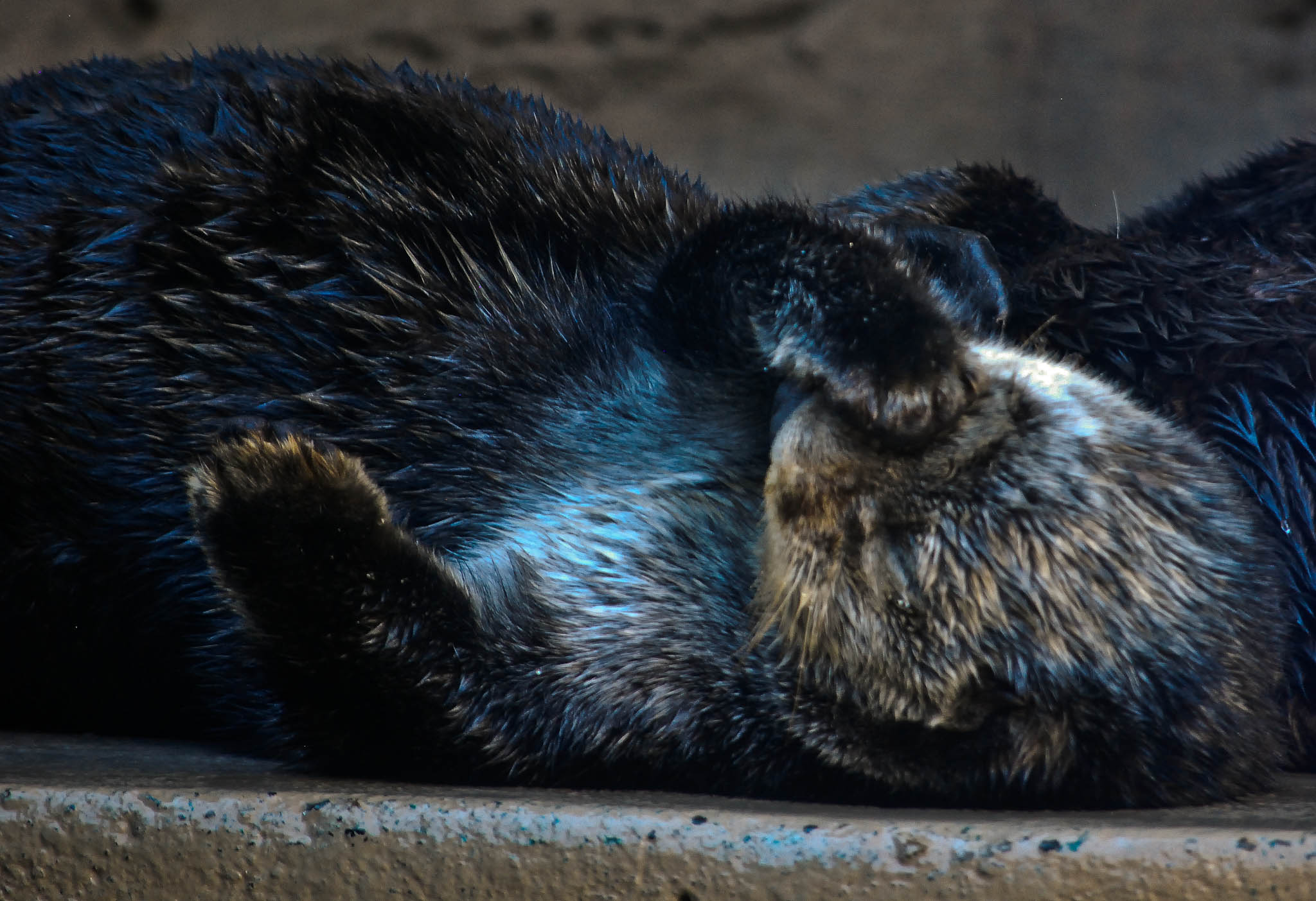 Sea Otter Facepalm