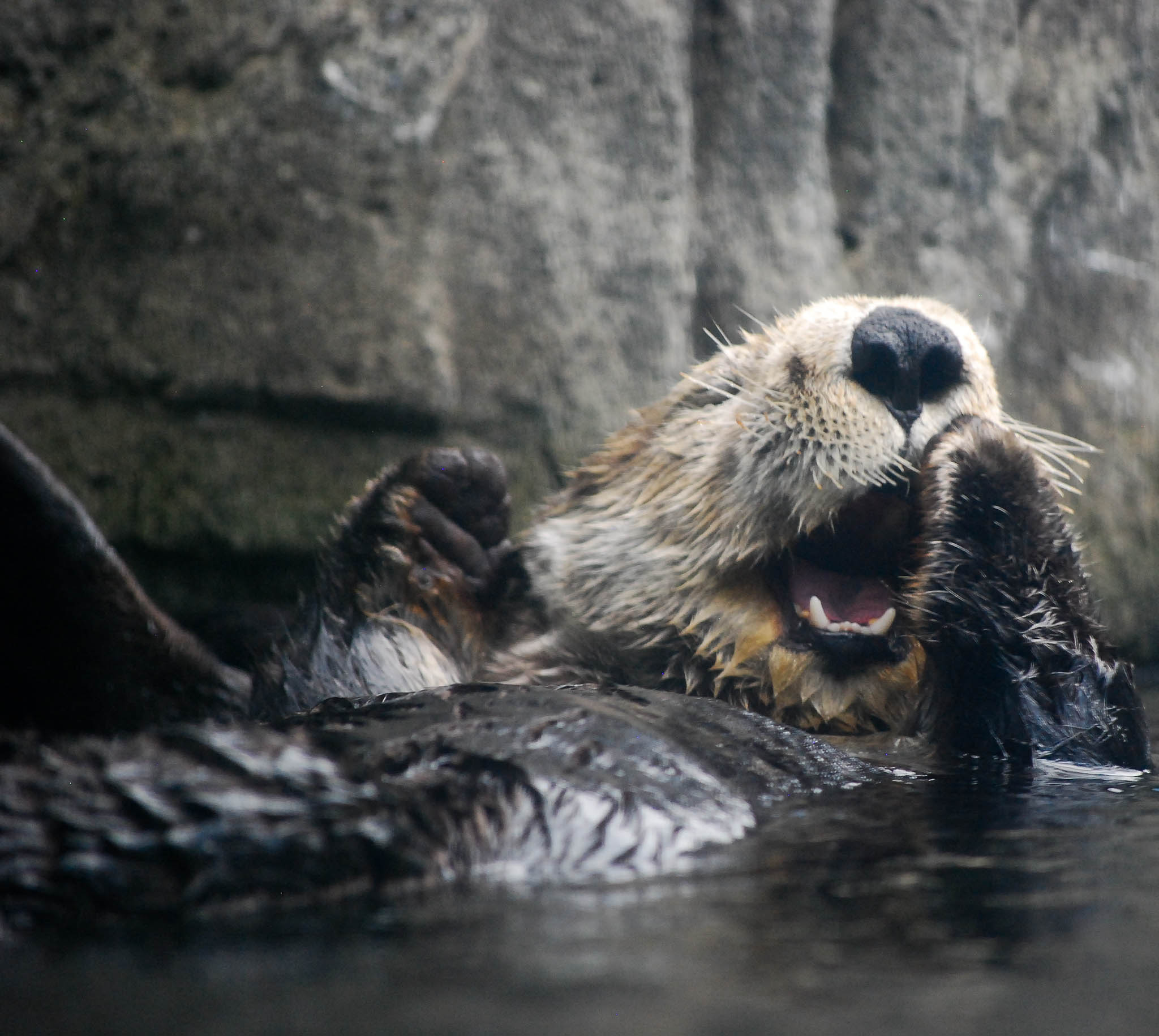 Polite Sea Otter Covers Her Mouth When She Yawns