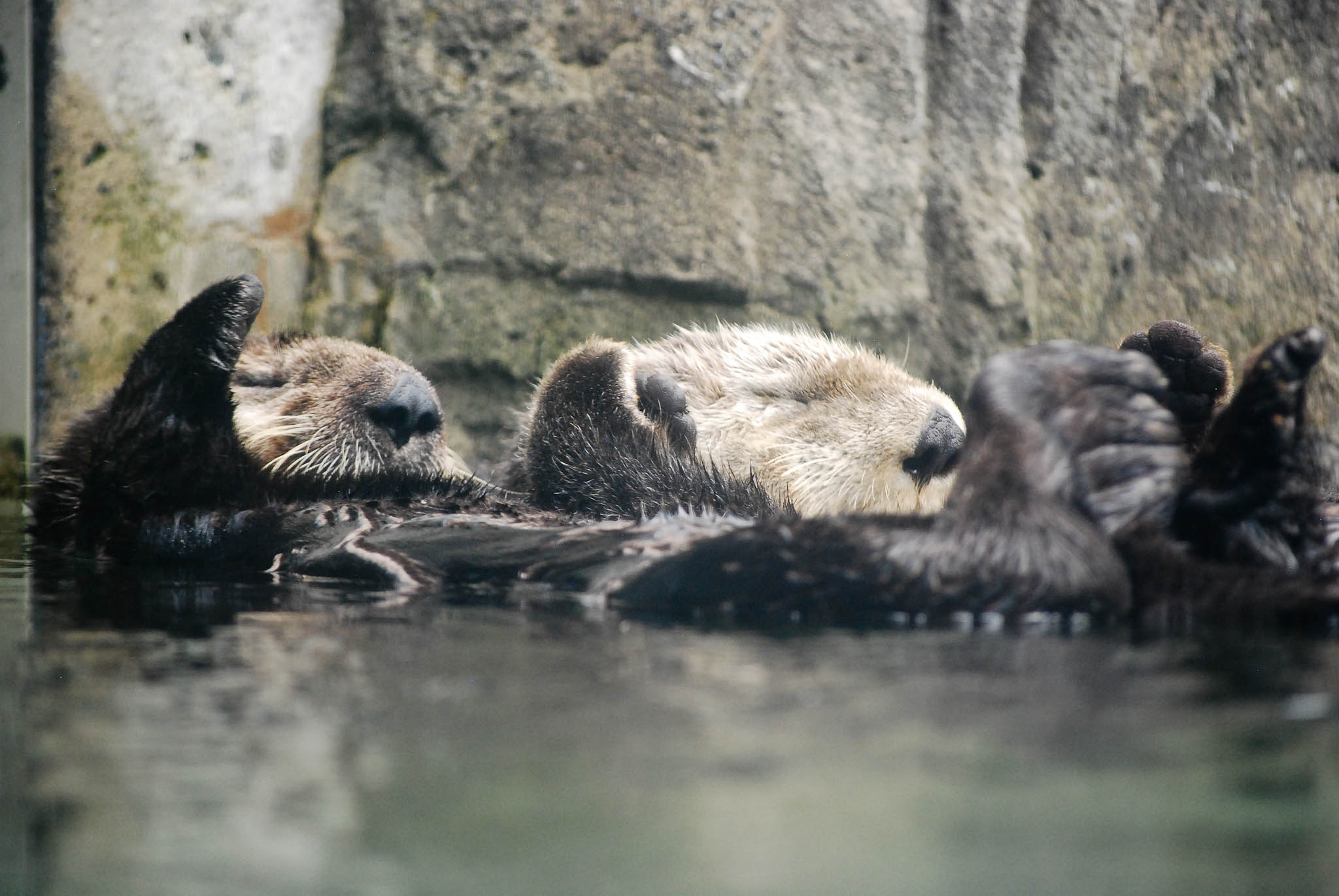 Sea Otters Katmai and Tanu Nap While Holding Hands at Vancouver Aquarium