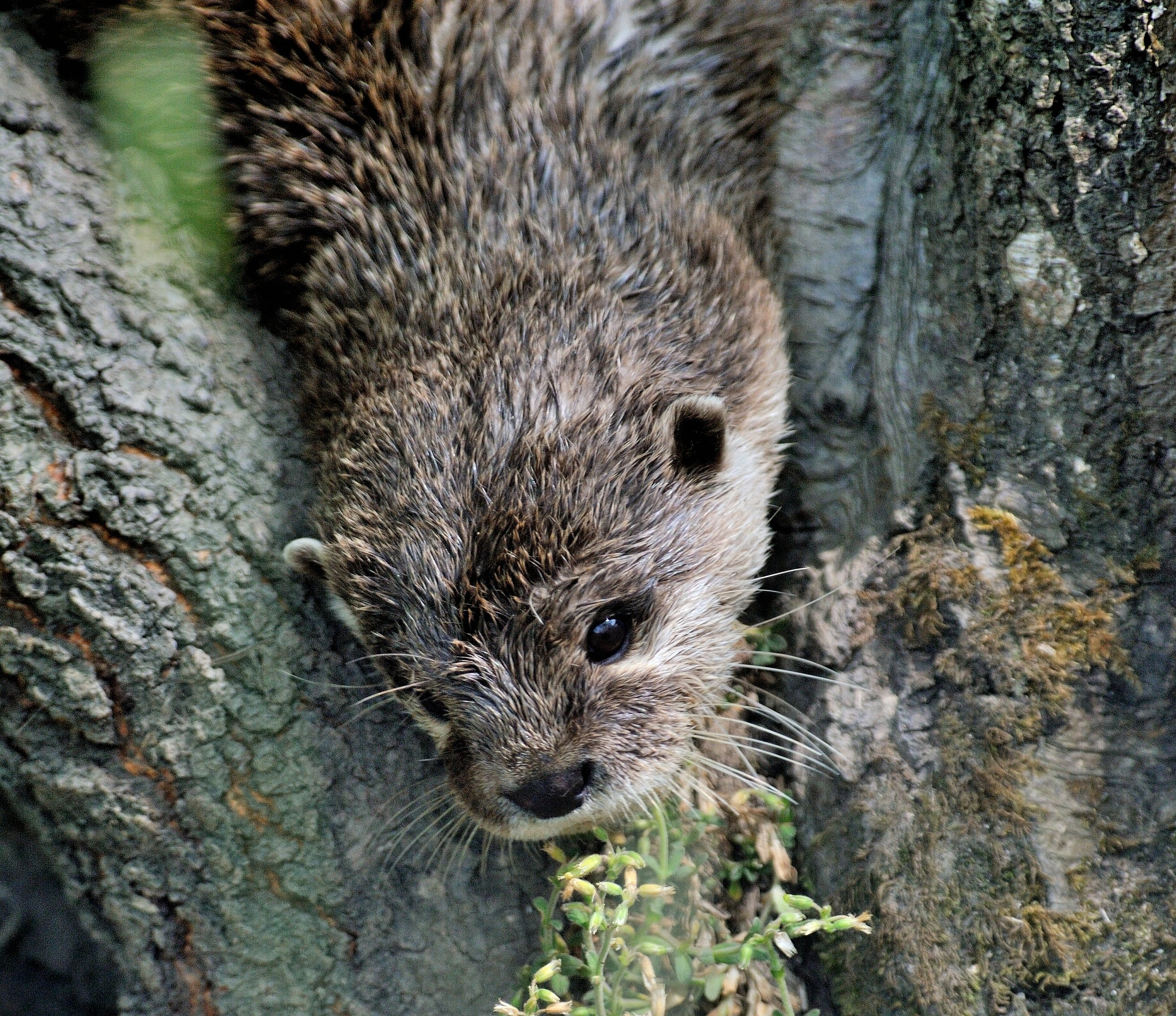 Otter Looks Down from His Tree