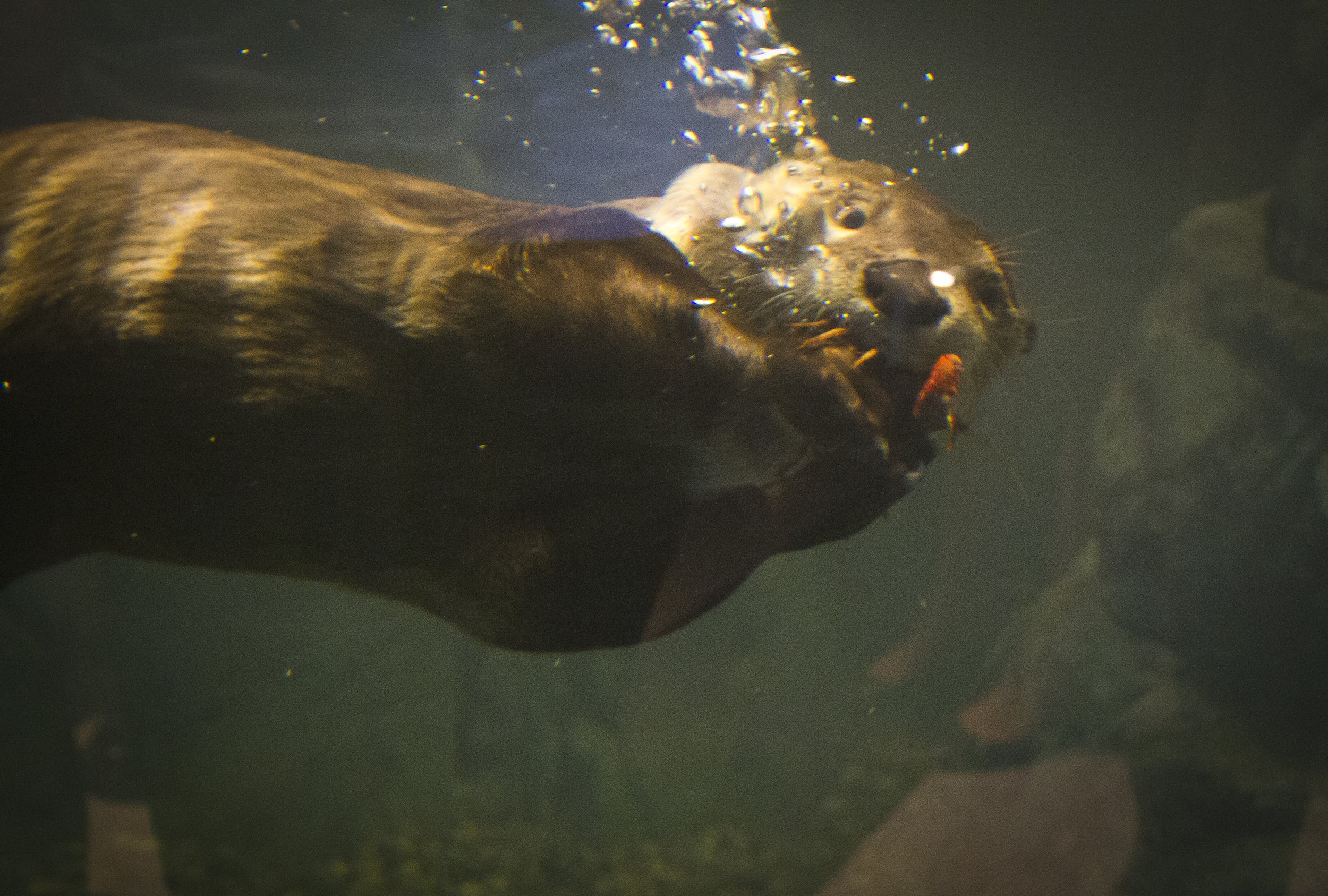 Otter Can Chew and Swim at the Same Time