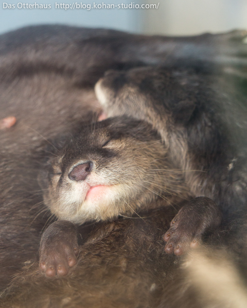 Otter Pup Falls Asleep in the Middle of a Cozy Otter Pile