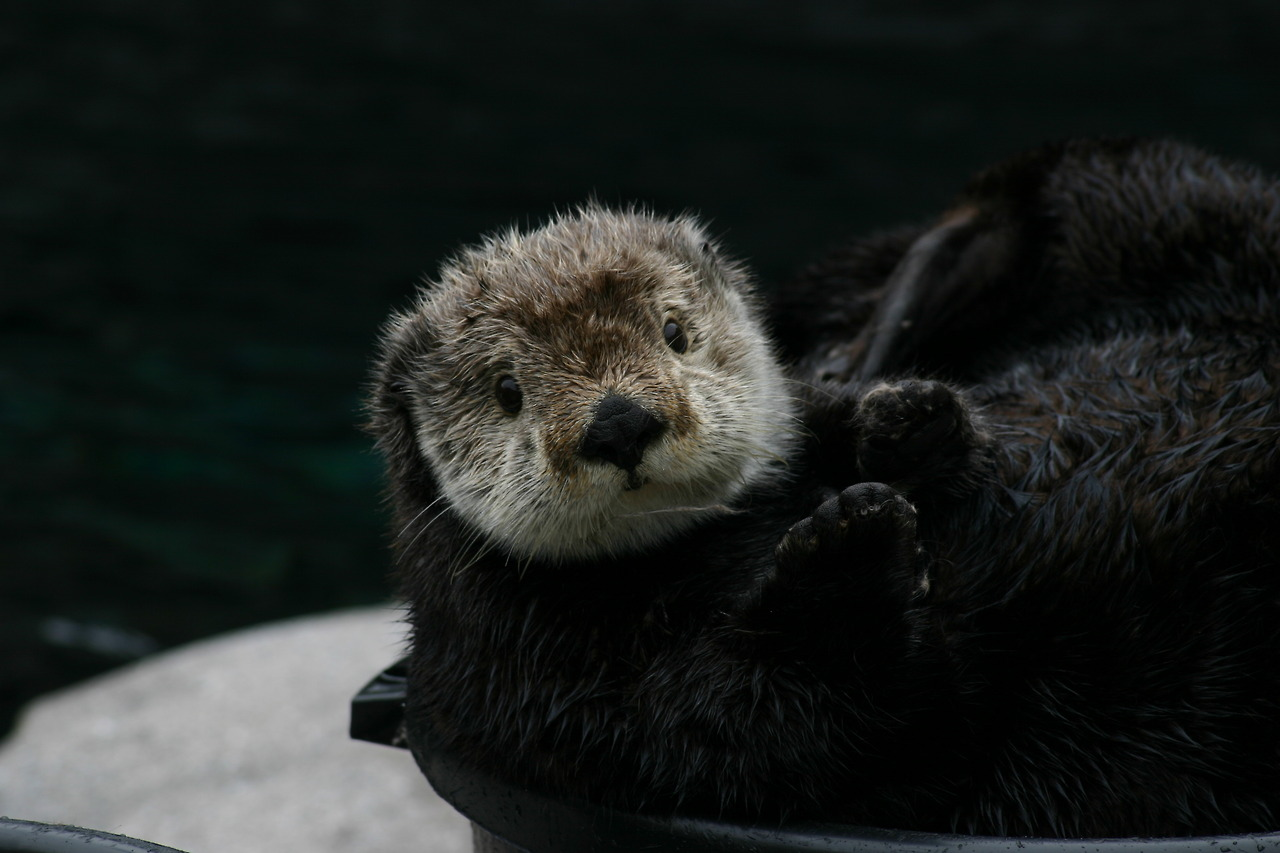 Bashful Sea Otter Gidget Realizes Humans Are Watching Her in Her Bucket