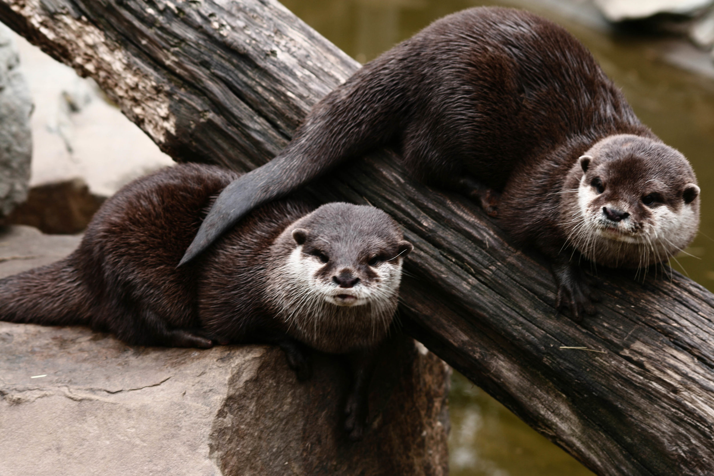 """Prankster Otter Uses His Tail to Play the Old """"Tap Your Friend on the Opposite Shoulder"""" Trick"""