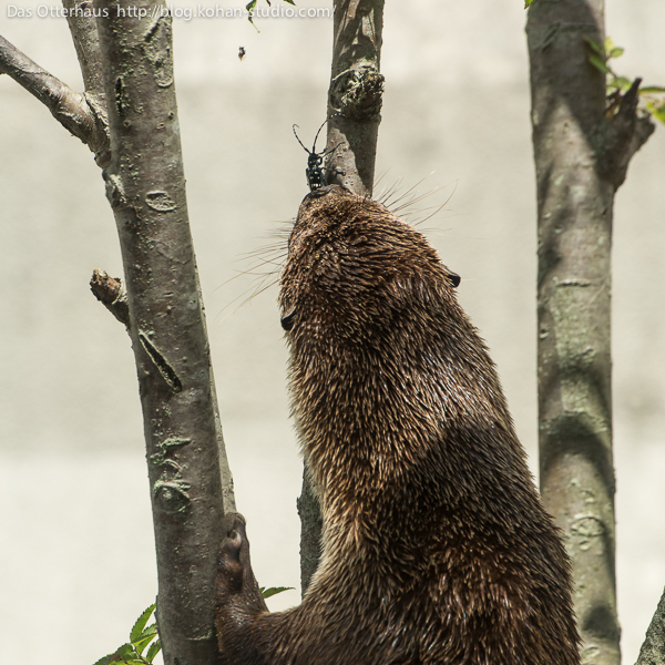 Otter Is Intrigued by a Beetle 3