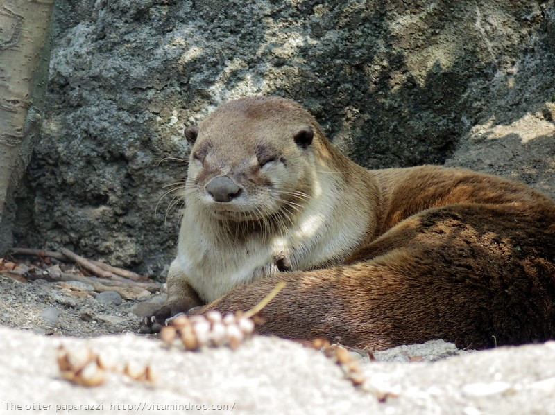 Otter Smiles a Content Smile