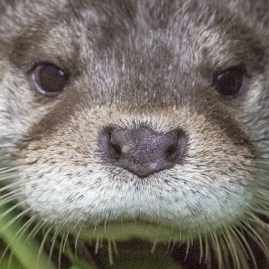 Closeup of Otter Looking Very Serious