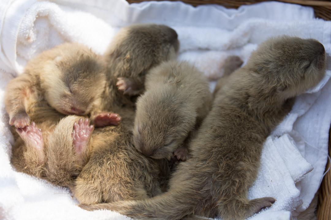 A Basket of Newborn Otter Pups 3