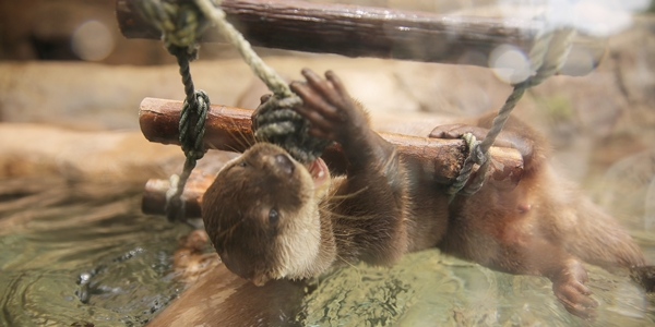Acrobatic Otter Hangs from the Underside of a Rope Ladder to Nibble on a Knot 1