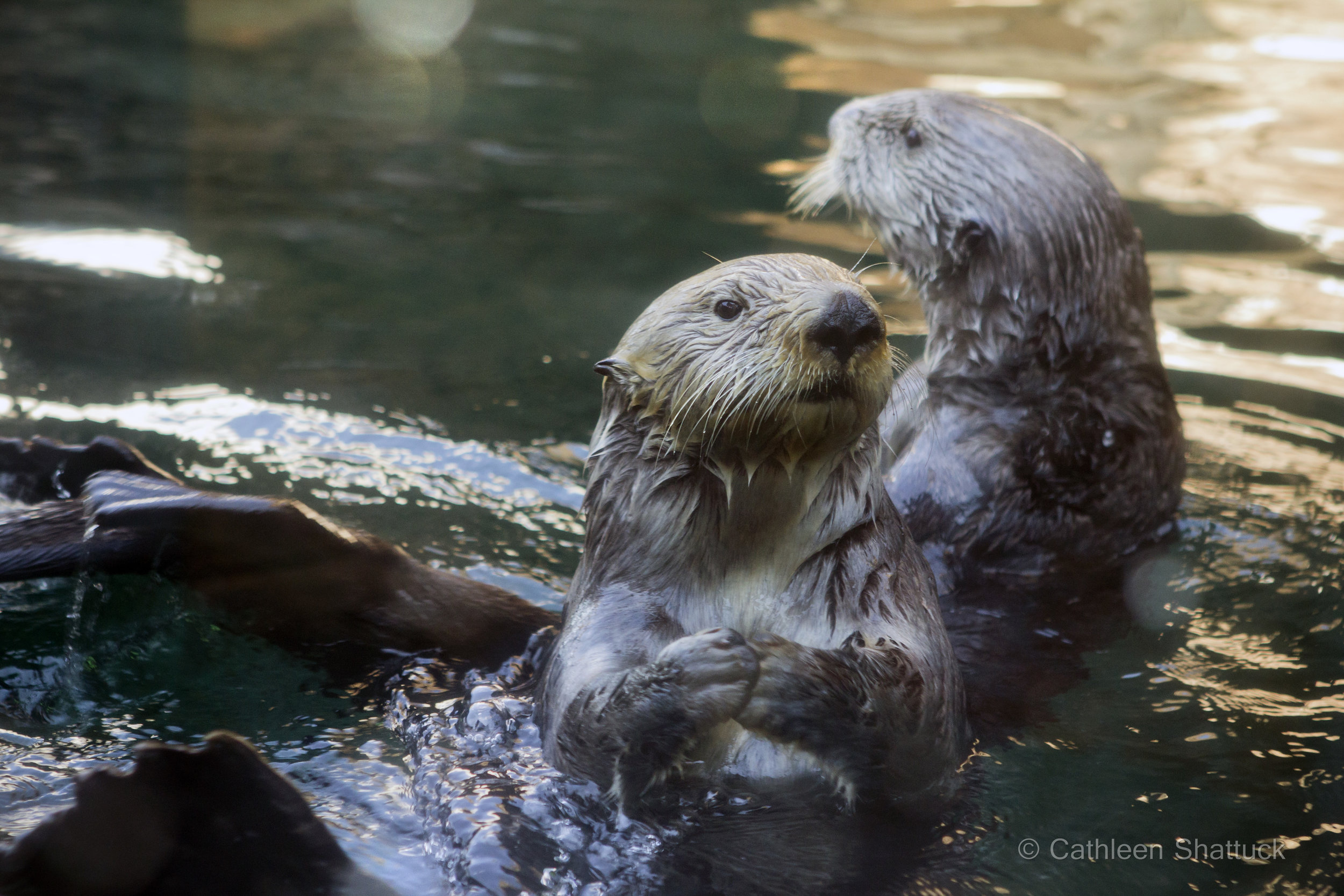 Ballet Dancing Sea Otter Puts Her Arms in First Position