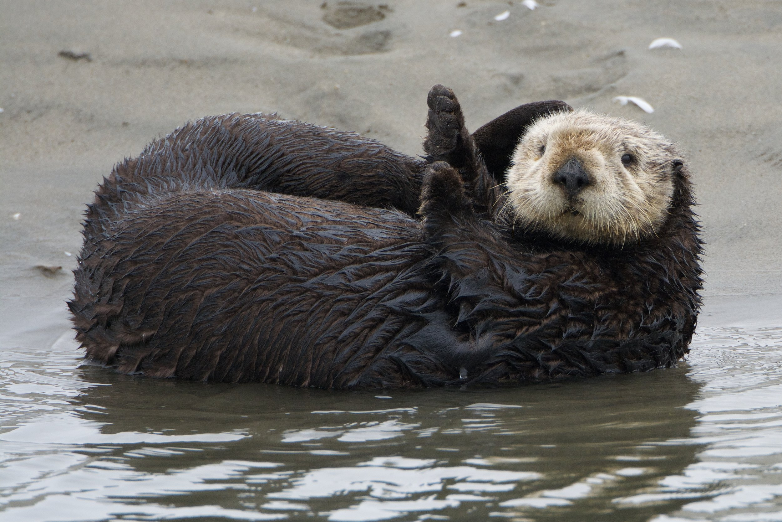 Sea Otter Takes a Break from the Sea on the Beach