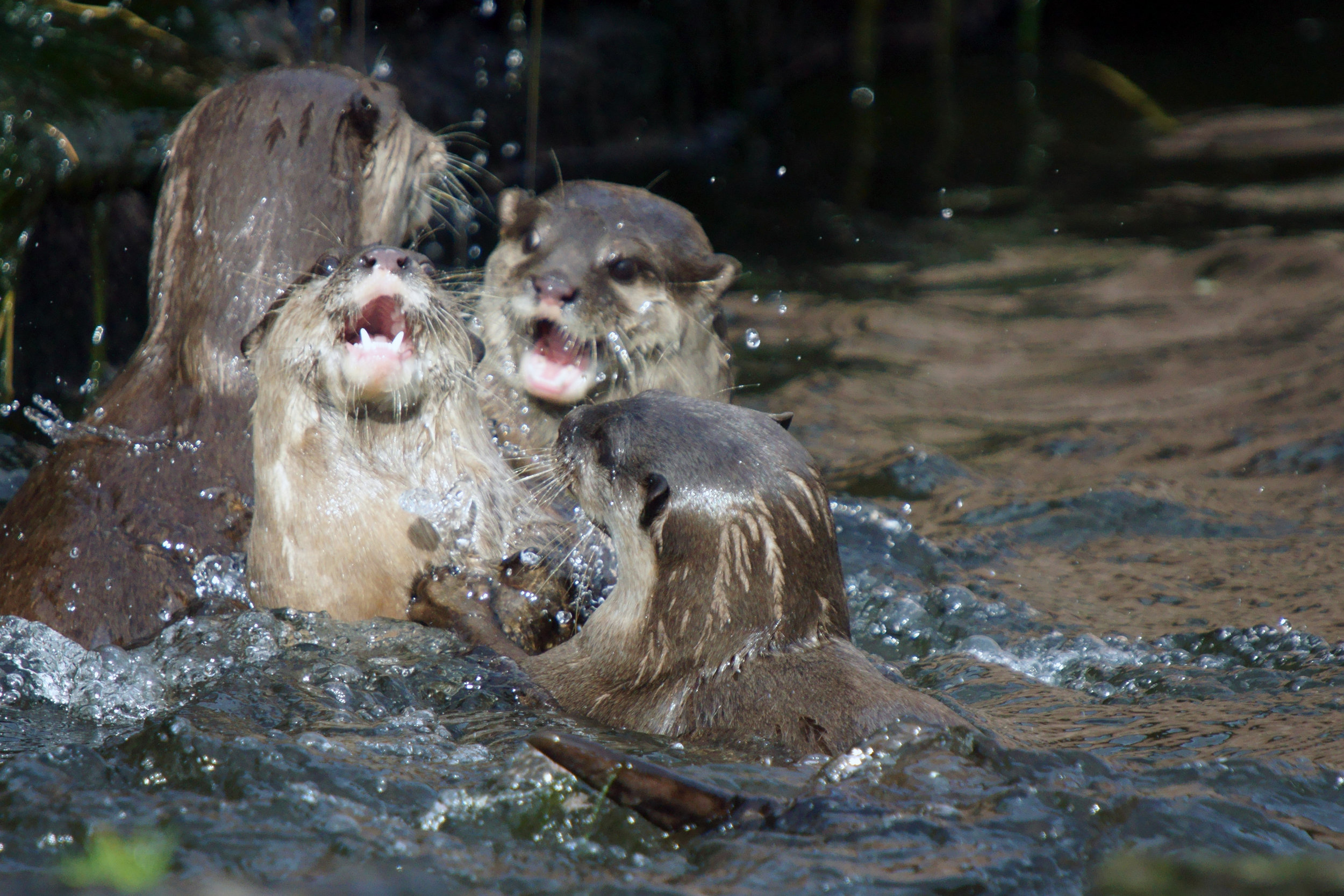 It's an Otter Water Fight!