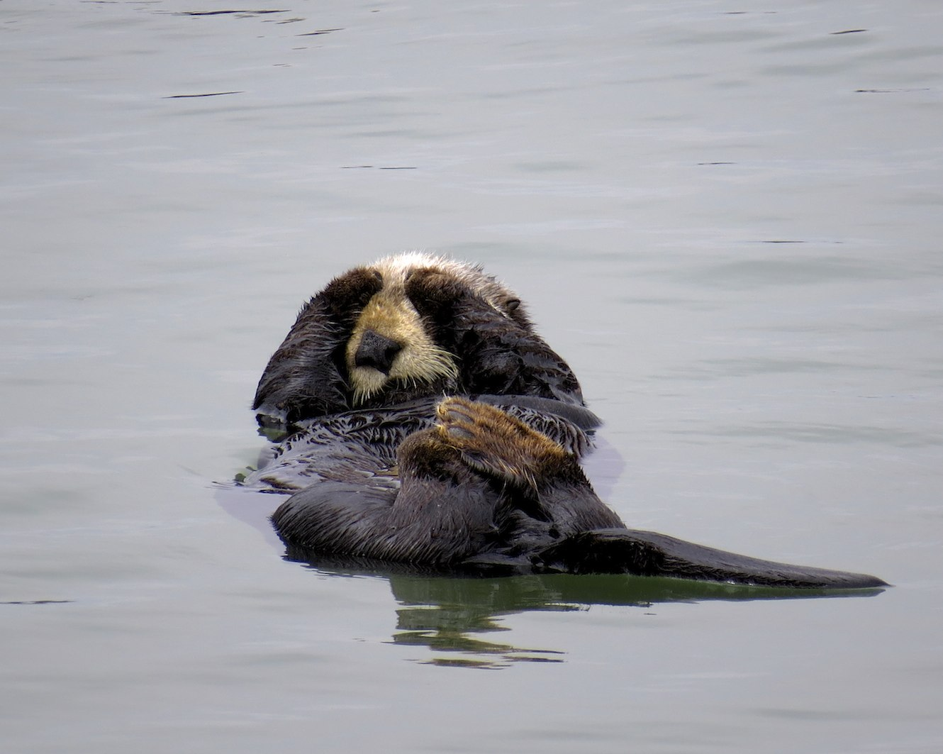 Sea Otter Knows It's Hard Being So Cute; Everyone Wants to Take Your Picture!