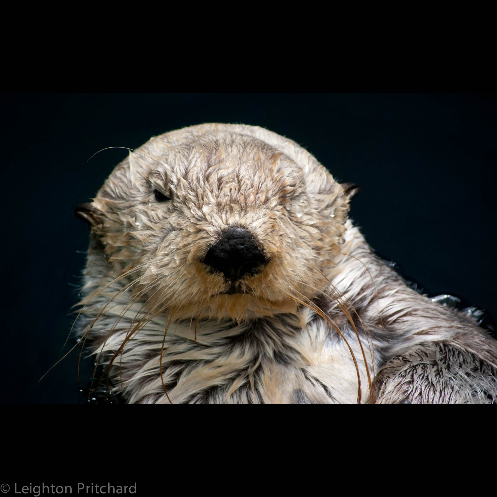 Grumpy Sea Otter Grudgingly Gives a Wink