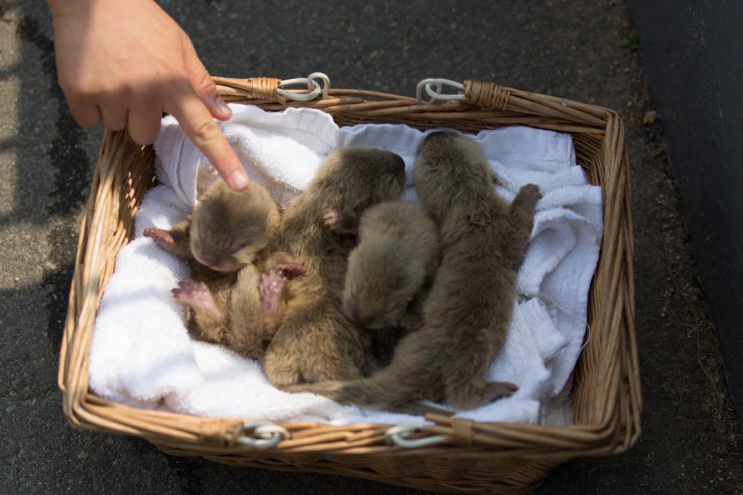 A Basket of Newborn Otter Pups 2