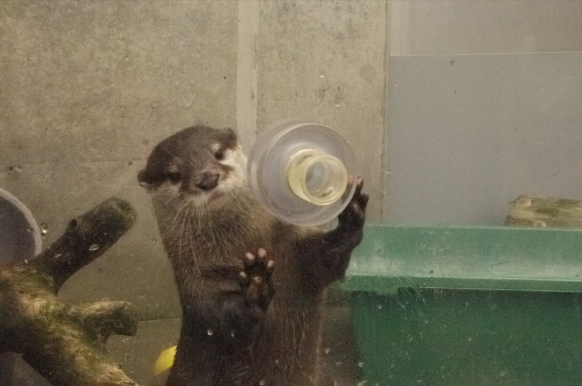Otter Accepts a Delicious Treat through a Hole in the Display Glass 1