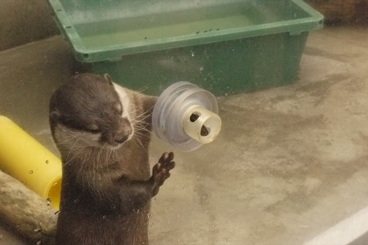 Otter Accepts a Delicious Treat through a Hole in the Display Glass 2