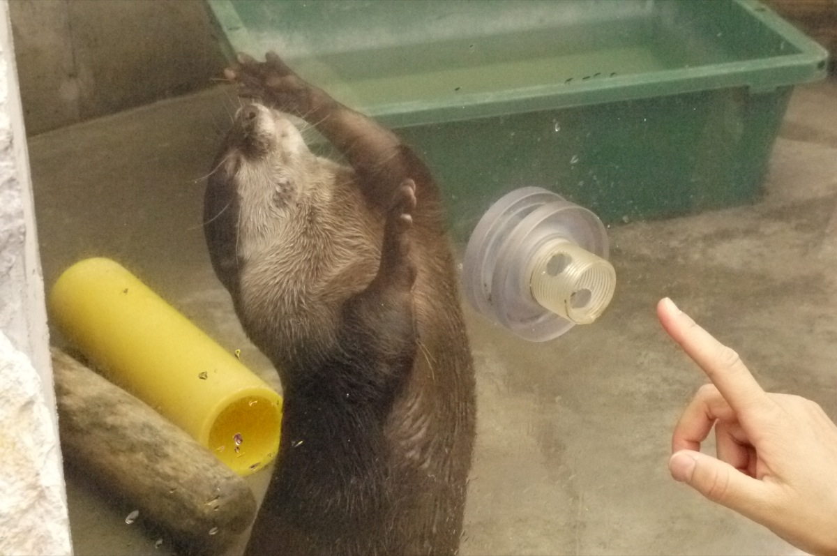 Otter Accepts a Delicious Treat through a Hole in the Display Glass 5