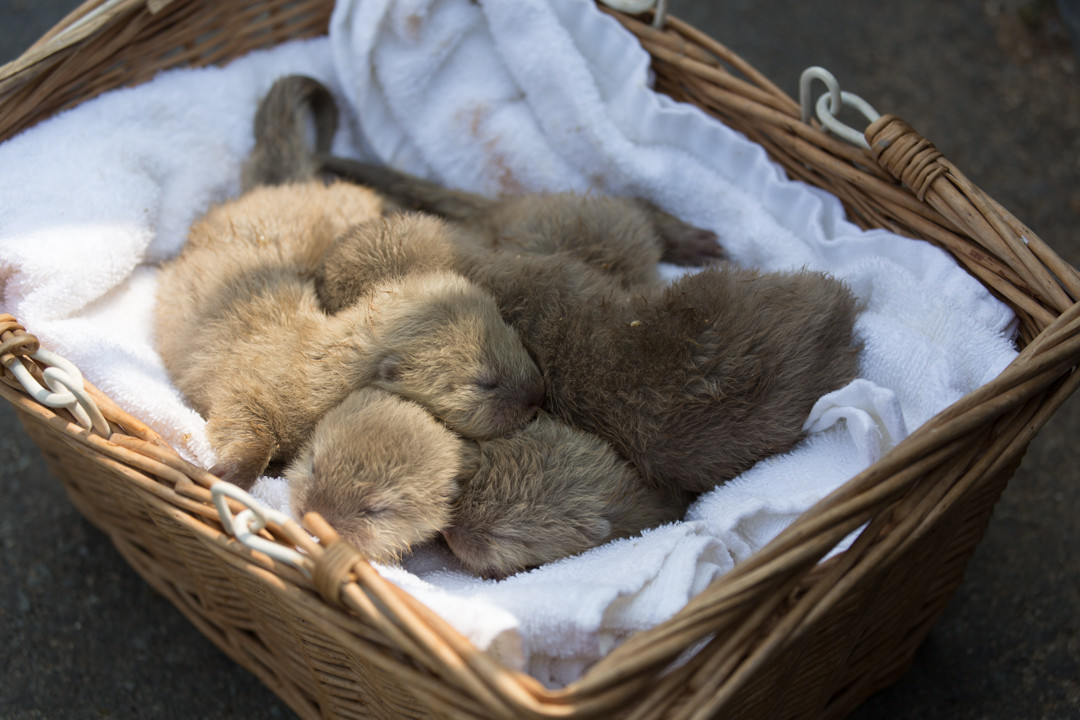 A Basket of Newborn Otter Pups 1