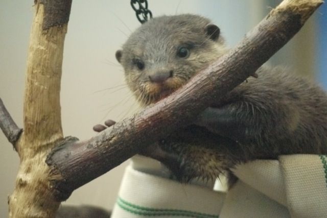 Otter Pup Sees a Tree Branch, Decides to Eat It 1