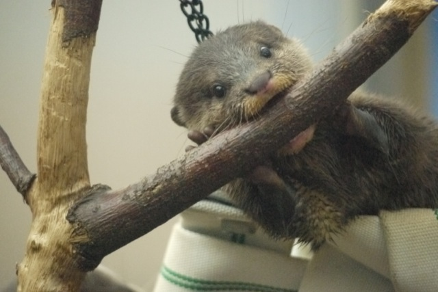 Otter Pup Sees a Tree Branch, Decides to Eat It 2