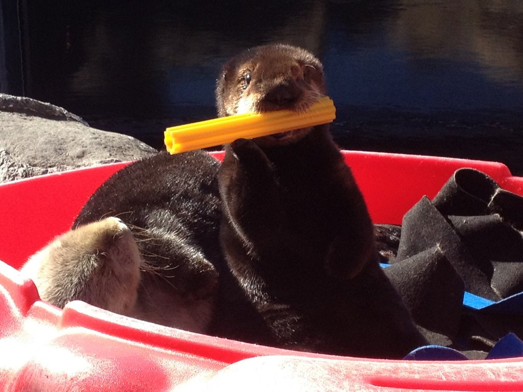 Sea Otter Pup 572 Nibbles on a Toy