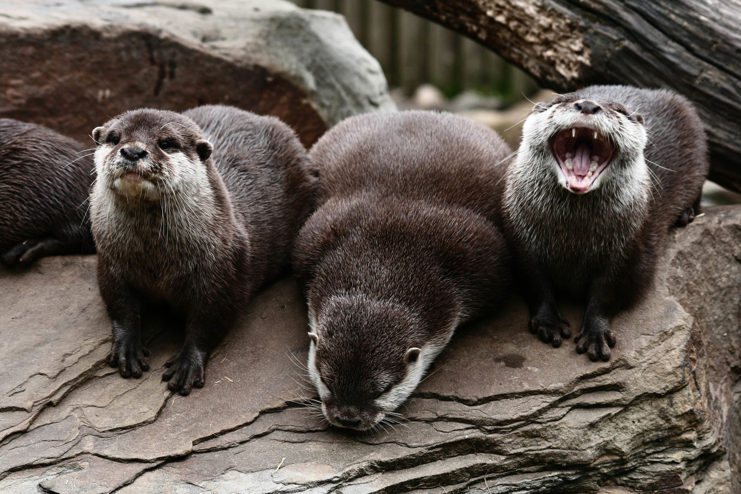 Otter Is the Only One Laughing at His Joke