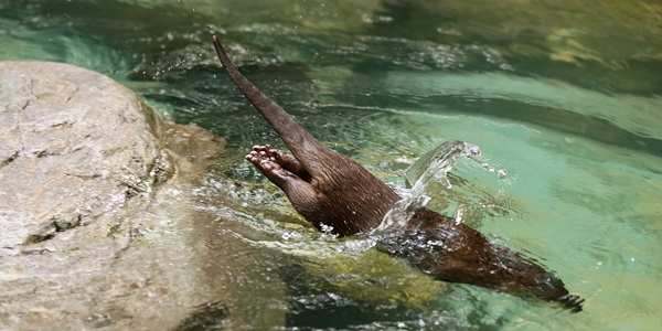 An Otter's Dive in Two Parts 2