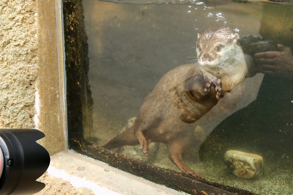 Otter Knows How to Work the Camera 2
