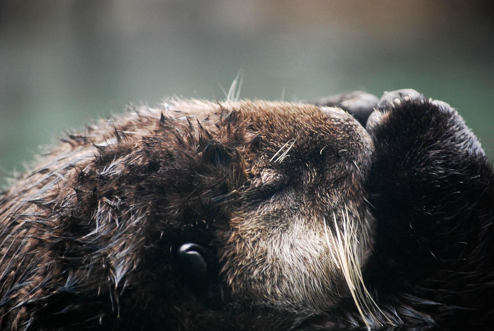 Sea Otter Meditates