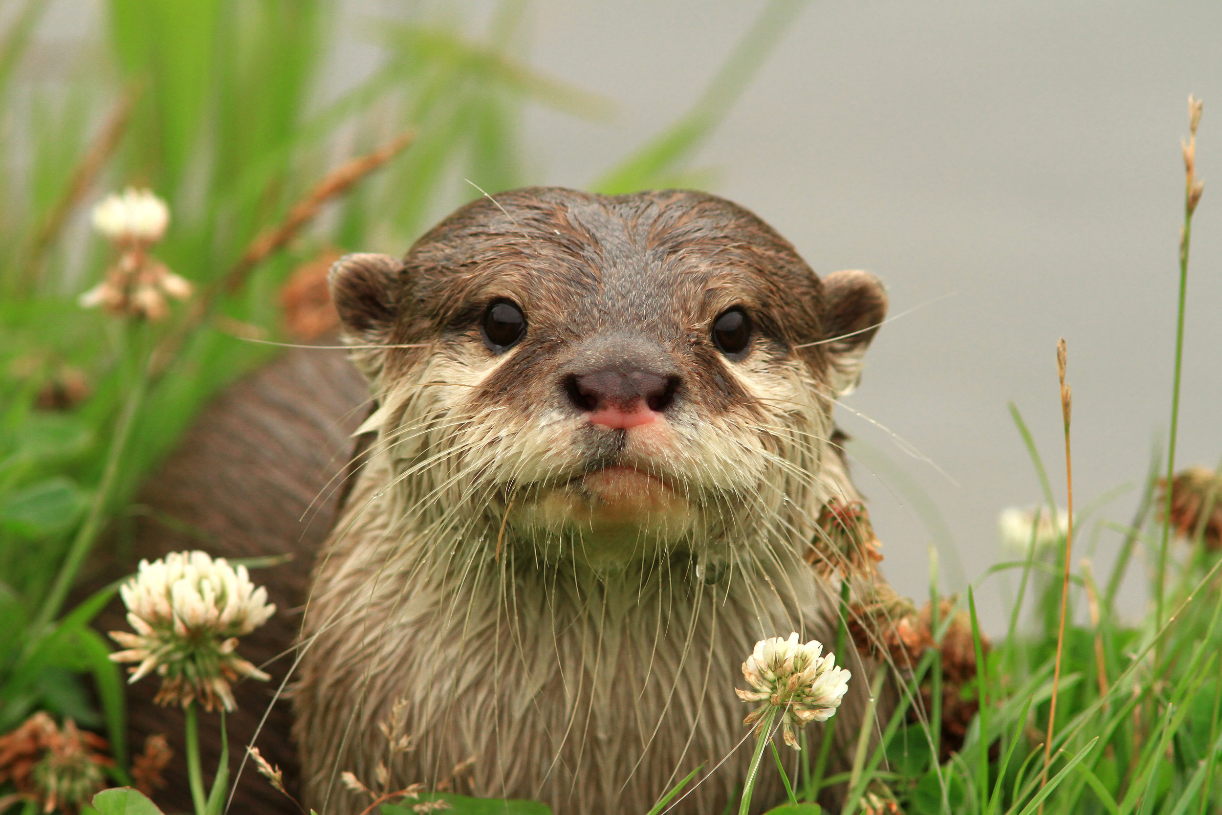 Otter Poses Among the Flowers