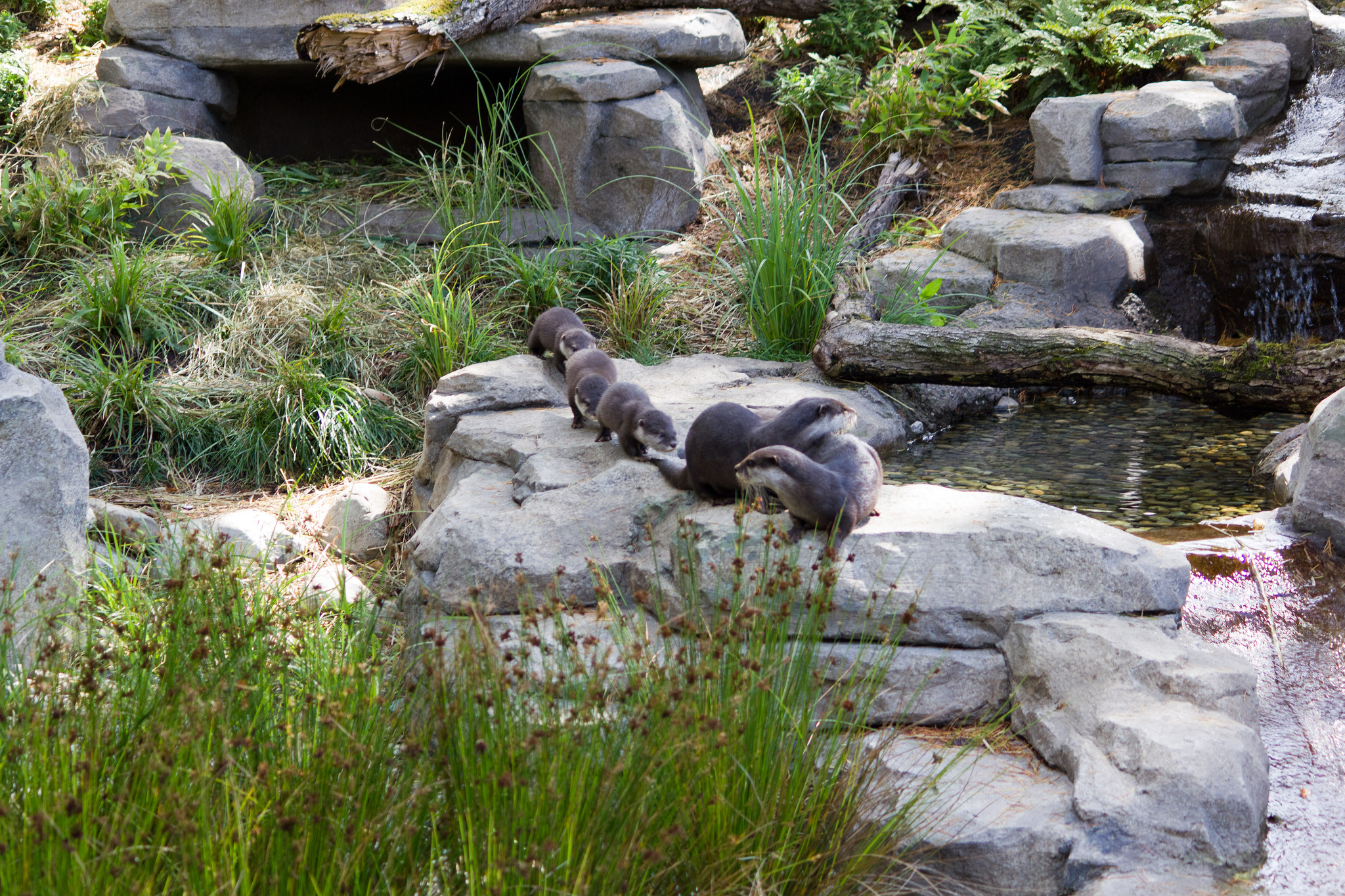 Otter Family Goes in Single File