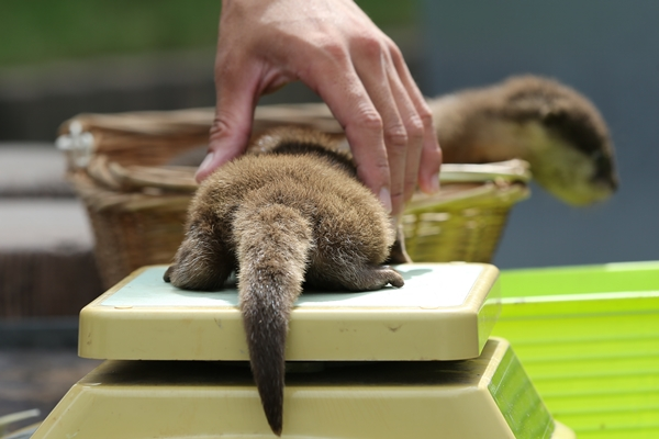Little Otter Pup Gets Weighed 2