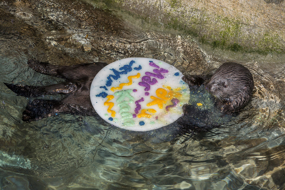 Sea Otters at Shedd Aquarium Celebrate Sea Otter Awareness Week with Ice Cakes 4