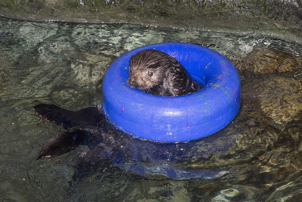 Sea Otters at Shedd Aquarium Celebrate Sea Otter Awareness Week with Ice Cakes 5