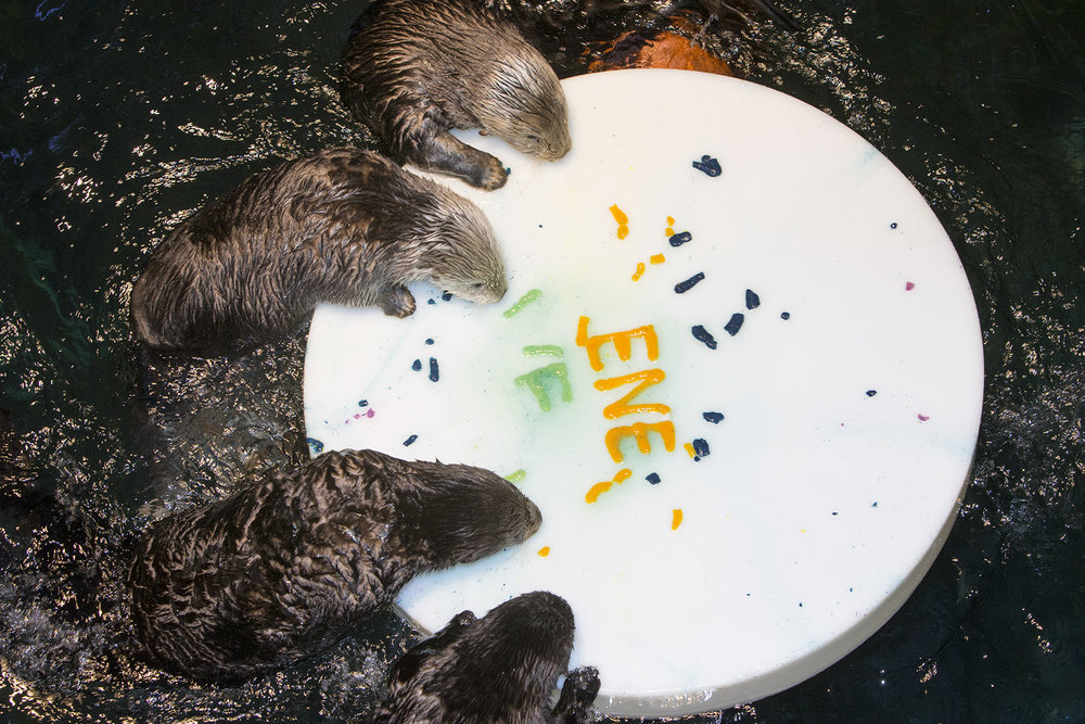 Sea Otters at Shedd Aquarium Celebrate Sea Otter Awareness Week with Ice Cakes 6
