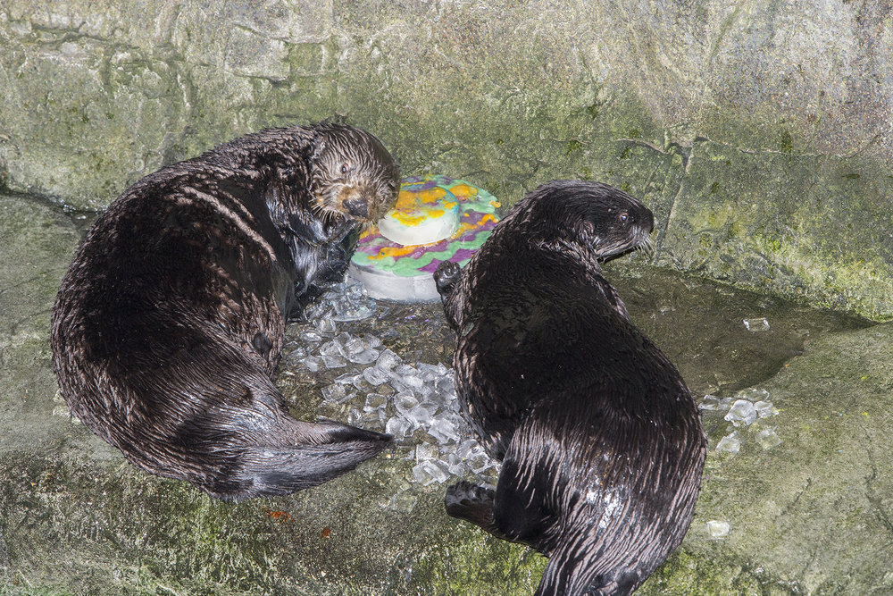 Sea Otters at Shedd Aquarium Celebrate Sea Otter Awareness Week with Ice Cakes 7