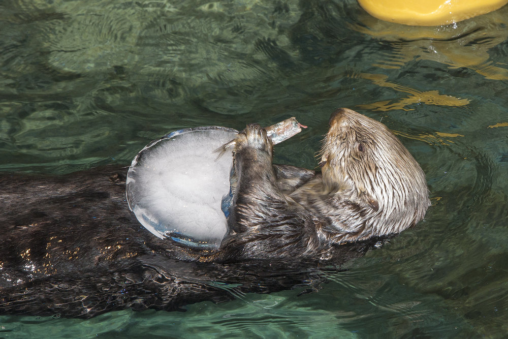 Sea Otters at Shedd Aquarium Celebrate Sea Otter Awareness Week with Ice Cakes 8