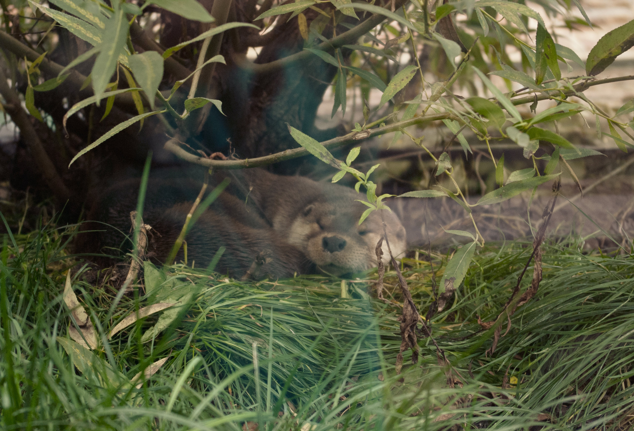Otter Curls Up and Naps Under a Tree