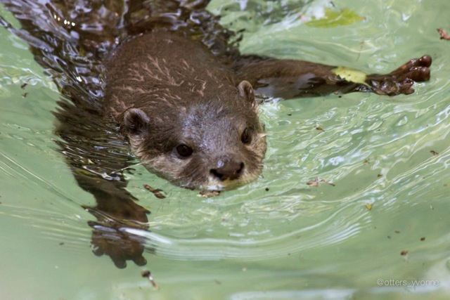 Otter Does the Otter Paddle