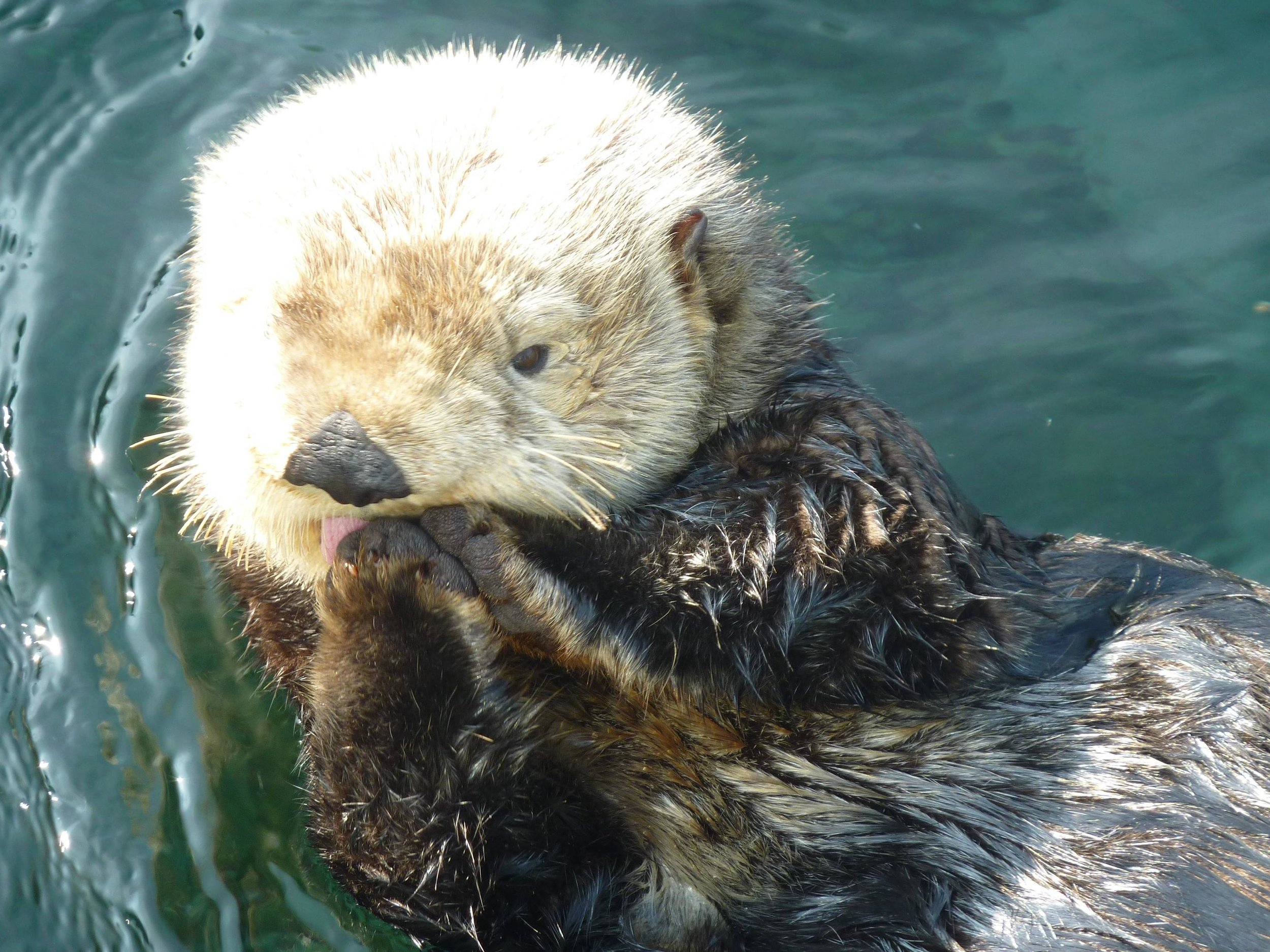 Sea Otter Licks Her Paws