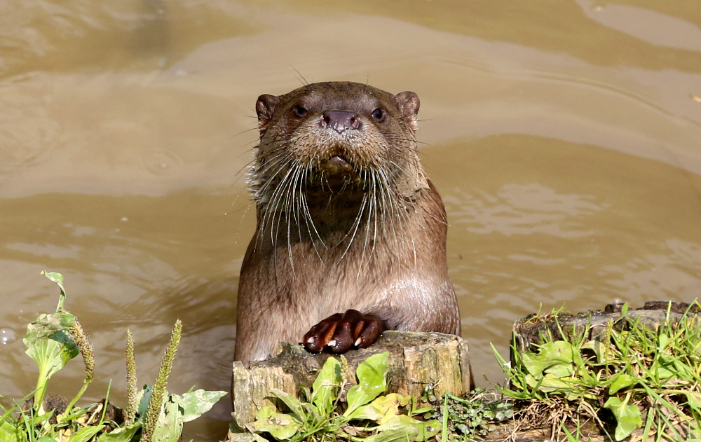 Cranky Otter Will Pose for a Photo, But He's Not Going to Like It