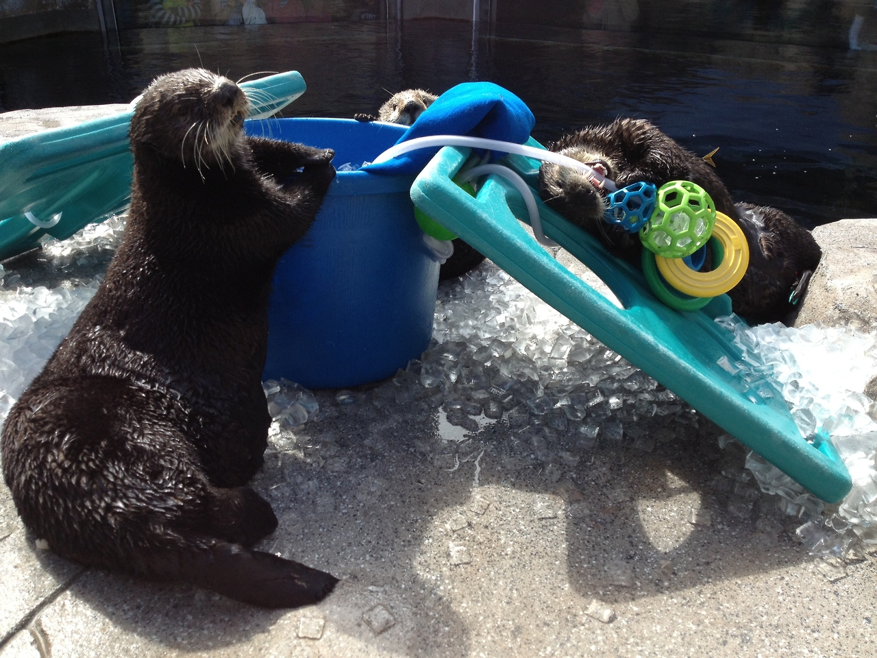 Sea Otters Pose with Their Toys