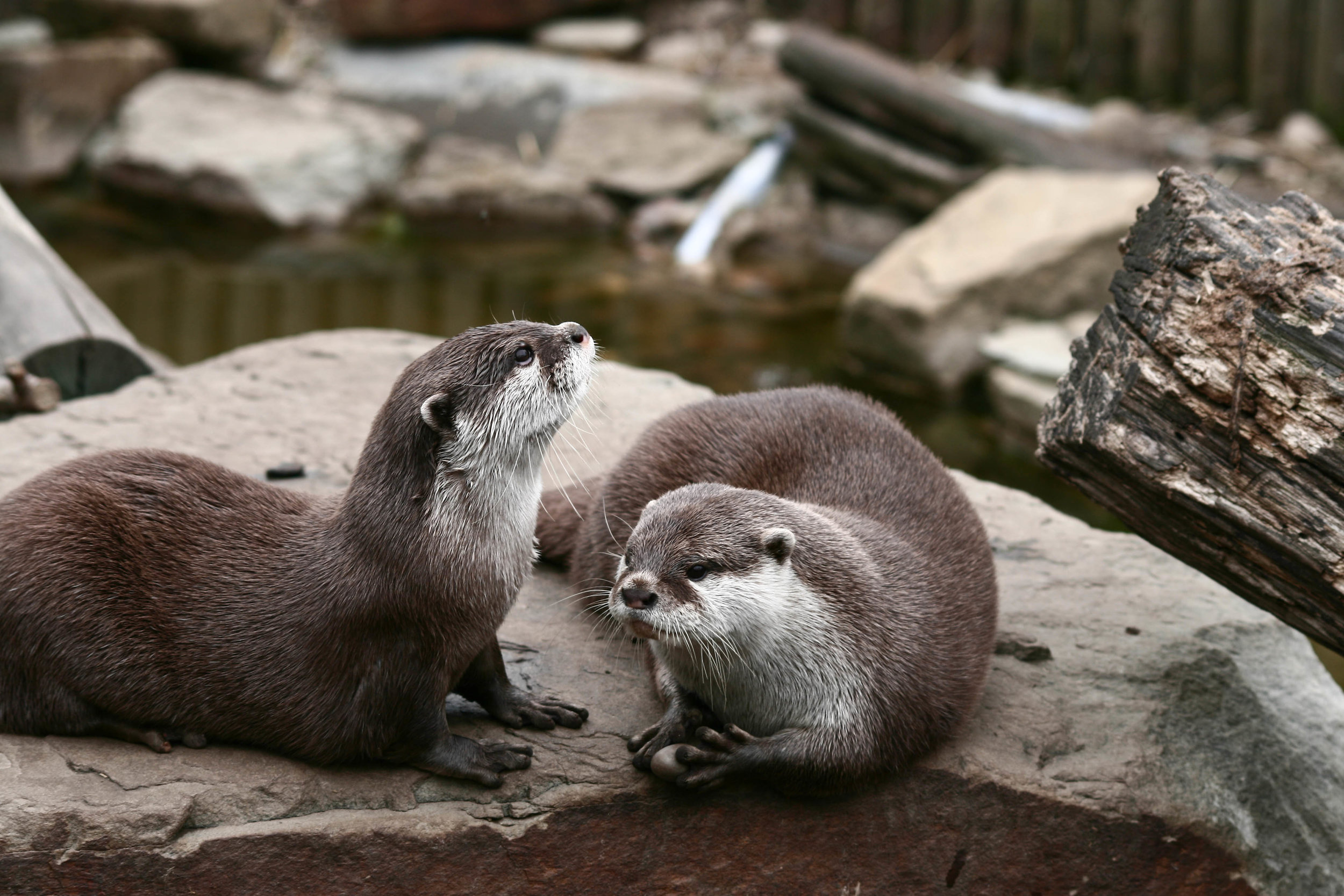 Otter Absentmindedly Holds a Stone