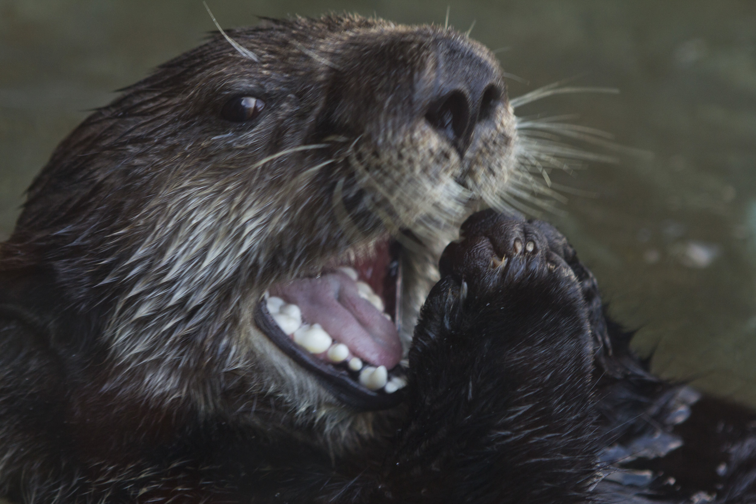 Sea Otter Is Happy to See You!